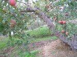 片桐農園のリンゴ